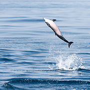 Spinner dolphin (Stenella longirostris) leaping into the air on a sunny day