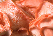 Close up selective focus photo of Pink Oyster Mushrooms