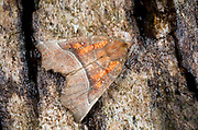 Close-up of a Herald moth (Scoliopteryx libatrix) resting on a tree in a Norfolk garden in summer
