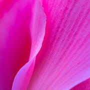 Macro photograph of pink cyclamen flower.