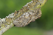 Great Prominent Peridea anceps Length 30mm. A subtly marked moth whose colours and patterning are a good match for oak bark. Rests with it wings held in tent-like manner. Adult has marbled brown and grey-brown wings and hairy legs. Flies May–July. Larva is green with diagonal stripes on each segment. Larva feeds on oaks. Locally common only in southern Britain.