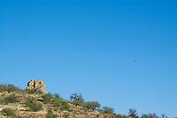 Turkey vultures, Cathartes aura, circle near Pena Blanca Lake, Coronado National Forest, Arizona