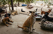 Rescued dogs rest in the patio area of the Yangon Animal Shelter.