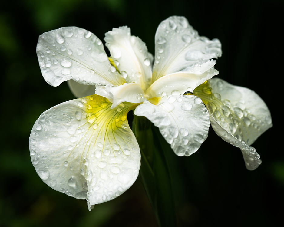 An iris in the rain, from our yard.