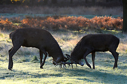 Deer rutting in the cold morning frost at Richmond Park as weather in the UK turns to freezing. London, United Kingdom. Tuesday, 19th November 2013. Picture by Ben Stevens / i-Images