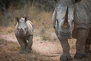 View of white rhino (Ceratotherium simum) , known as Masalempini, and her calf in savannah in Mkhaya Game Reserve, Eswatini