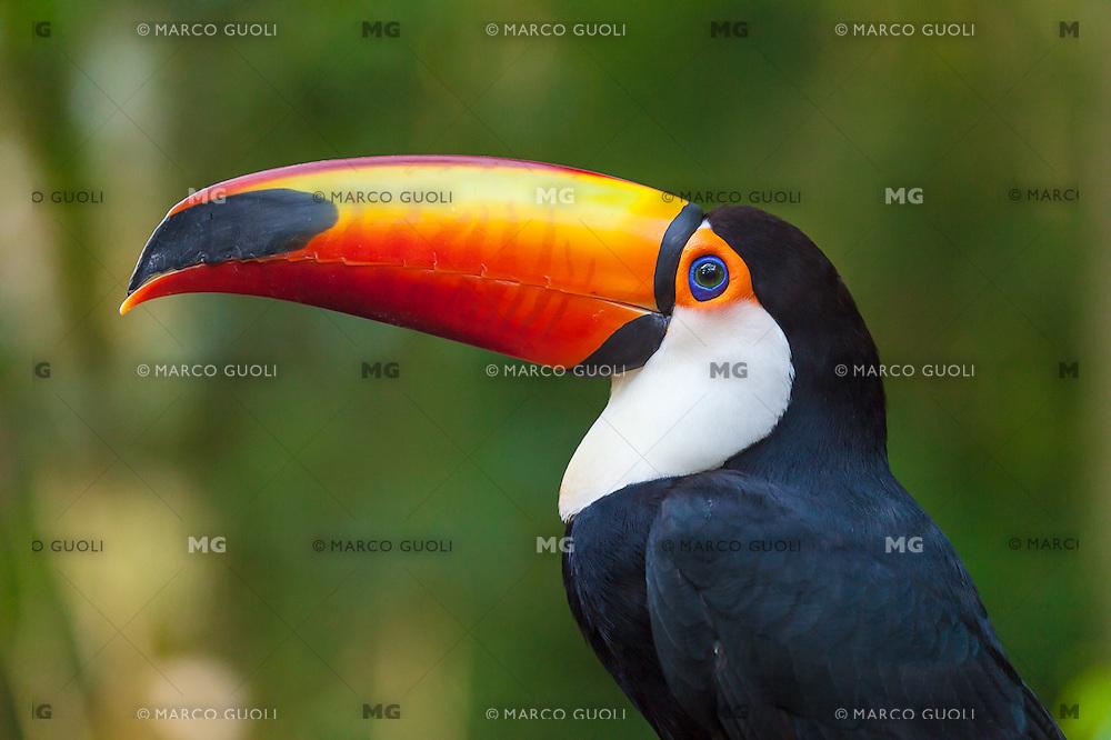 TUCAN GRANDE (Ramphastos toco) PARQUE DE LAS AVES, PARQUE NACIONAL IGUAZU, PROVINCIA DE PARANA, BRASIL (PHOTO © MARCO GUOLI - ALL RIGHTS RESERVED)