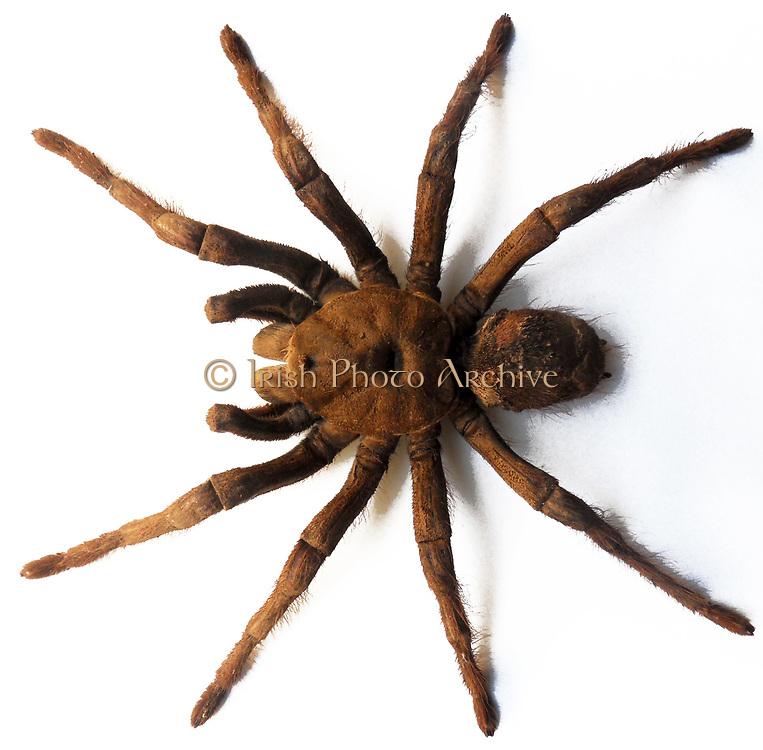 Theraphosa leblondi, Goliath Tarantula