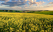 A crop of yellow mustard shimmers at sunset in the rolling hills of the Palouse country of Eastern Washington.