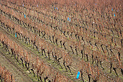 rows of vines during late fall early winter in the Languedoc France