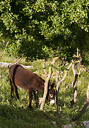 Donkey grazing on a hillside overlooking Obrovac, Croatia.