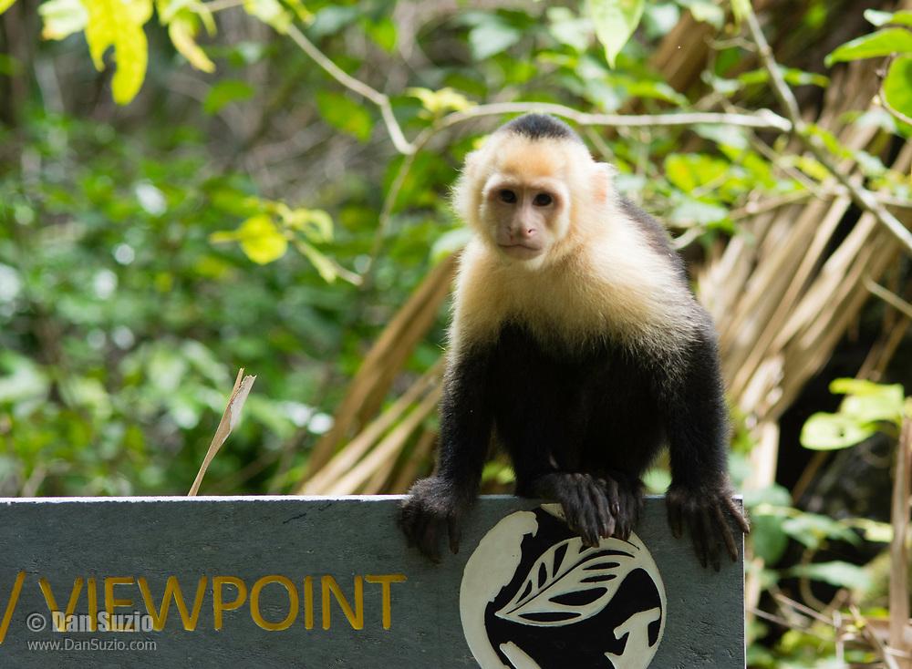 White-faced Capuchin, Cebus capucinus, sitting on a sign in Manuel Antonio National Park, Costa Rica