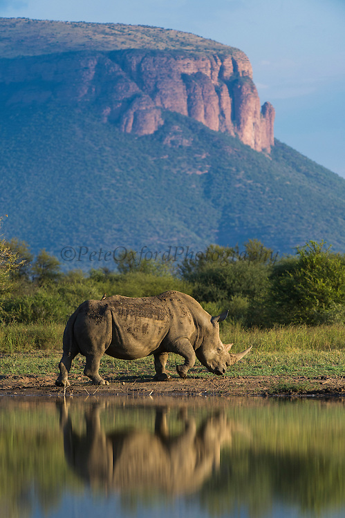 White Rhinoceros (Ceratotherium simum) at Pan<br /> Private Reserve, <br /> SOUTH AFRICA<br /> RANGE: Southern & East Africa<br /> ENDANGERED SPECIES
