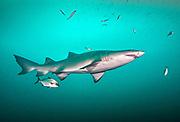 Sand tiger shark and Amber jack in North Carolina, USA