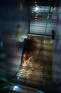 Deutschland, DEU, Halle/Saale: Ein von Professor Rolf Gattermann, Spezialist für Goldhamster (Mesocricetus auratus) an der Martin-Luther-Universität Halle-Wittenberg, entwickeltes Rad. Die durch dieses Rad aufgezeichneten Daten können Aufschluß den Aktivitätsrhythmus und den Gesundheitszustand von Goldhamstern liefern.   Germany, DEU, Halle/Saale: Golden Hamster (Mesocricetus auratus) in a special  wheel developed by Prof. Dr. Rolf Gattermann, specialized in Golden Hamster research at the Martin-Luther-University of Halle-Wittenberg, Germany, the datas the wheel deliveres can make propositions about the activity rhythmn and health conditions of Golden Hamsters.  