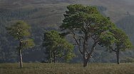 Pine Trees above Glendalough.<br /> This area has several stands of spectacular pine trees.