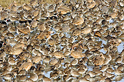 Masses of shore birds resting forming an abstract pattern.Back Bay Reserve, California, USA