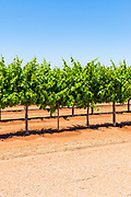 grape vines on a vineyard near Merbein South, Victoria, Australia <br />