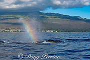 spout or blow from a humpback whale, Megaptera novaeangliae, hangs in the air, refracting a whale mist rainbow or whalebow, Kihei, Maui, Hawaii, Hawaii Humpback Whale National Marine Sanctuary, USA ( Central Pacific Ocean )