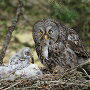 Great gray owl (Strix nebulosa) adult feeding a rodent to nested chicks in an old growth forest. Montana
