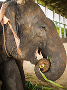 """28 AUGUST 2014 - BANGKOK, THAILAND:   An elephant eats pineapple tops in the corral at the King's Cup Elephant Polo Tournament at VR Sports Club in Samut Prakan on the outskirts of Bangkok, Thailand. The tournament's primary sponsor in Anantara Resorts. This is the 13th year for the King's Cup Elephant Polo Tournament. The sport of elephant polo started in Nepal in 1982. Proceeds from the King's Cup tournament goes to help rehabilitate elephants rescued from abuse. Each team has three players and three elephants. Matches take place on a pitch (field) 80 meters by 48 meters using standard polo balls. The game is divided into two 7 minute """"chukkas"""" or halves.      PHOTO BY JACK KURTZ"""