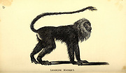 leonine monkey from General zoology, or, Systematic natural history Part I, by Shaw, George, 1751-1813; Stephens, James Francis, 1792-1853; Heath, Charles, 1785-1848, engraver; Griffith, Mrs., engraver; Chappelow. Copperplate Printed in London in 1800. Probably the artists never saw a live specimen