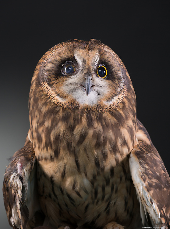 Short-eared Owl (Asio flames). Flame, is an imprinted owl who now lives as an education bird at the ORC.