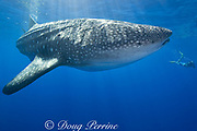 photographer James D. Watt and whale shark ( Rhincodon typus ), Kona Coast of Hawaii Island ( the Big Island ) Hawaiian Islands ( Central Pacific Ocean ) MR 357