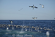 Cape gannets ( Sula capensis ) dive into a bait ball of sardines, Sardinops sagax, during annual Sardine Run off the Wild Coast ( Transkei ) of South Africa ( Indian Ocean )
