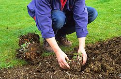 Dividing a perennial (hardy geranium) using a spade<br /> Replanting sections