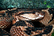Bushmaster, Lachesis muta stenophrys, Central and South America, jungle, poisonous, venemous,
