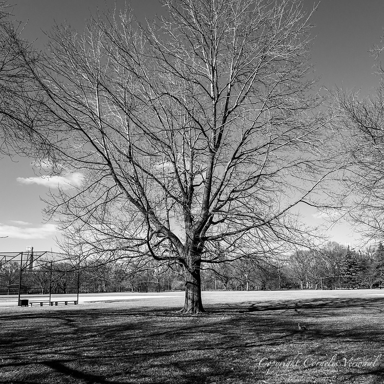 Silver Linden Tree at The Great Lawn in Central Park