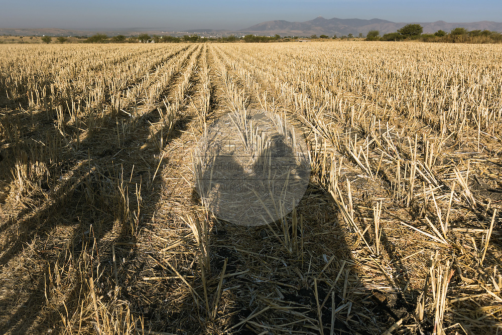 Shadows of cowboys cast on harvested fields by the rising sun during the annual Cabalgata de Cristo Rey pilgrimage January 5, 2017 in La Trinidad, Guanajuato, Mexico. Thousands of Mexican cowboys take part in the three-day ride to the mountaintop shrine of Cristo Rey stopping along the way at shrines and churches.