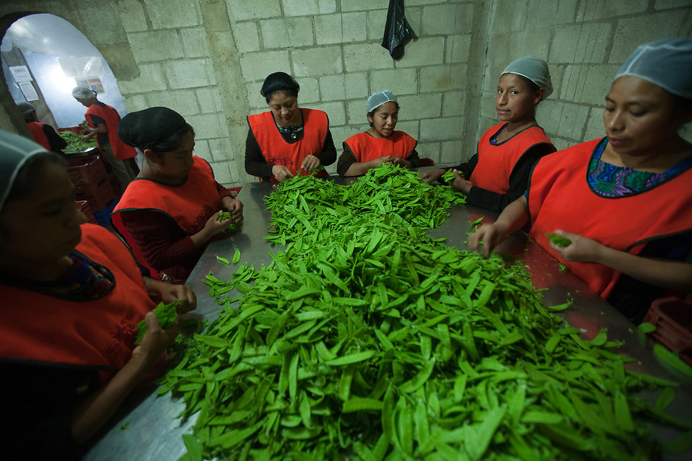 Workers at the ADIPROVA processing centre work most of the night preparing mangetout peas for export. ADIPROVA is a Fairtrade-certified vegetable producer based in Santa María de Jesus, Saquetepequez, Guatemala.