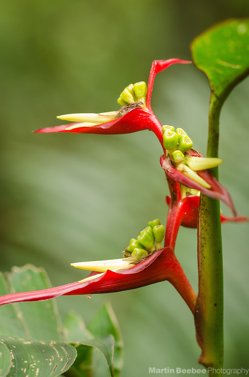 Heliconia, Monteverde Cloud Forest Biological Reserve, Monteverde, Costa Rica