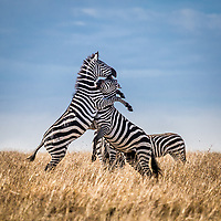 Zebra fight in the Masai Mara, Kenya.