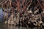 mangrove oysters on aerial roots of red mangrove, Rhizophora mangle, Galapagos ( Eastern Pacific Ocean )