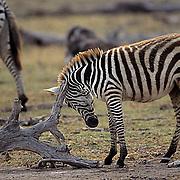 Burchell's Zebra, (Equus burchelli) Baby rubbing itch on snag. Kenya. Africa.