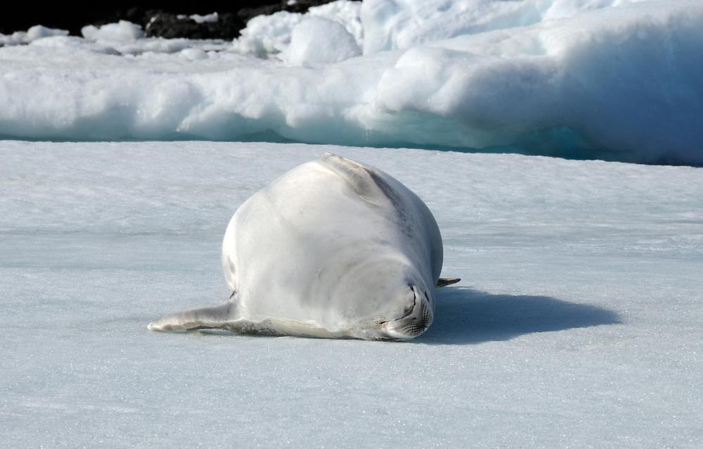 A Crabeater Seal (Lobodon carcinophaga or carcinophagus)   lies on its back on an ice floe in Hope Bay. Hope Bay,  Trinity Peninsula,  Antarctic Peninsula, Antarctica. 02Mar16