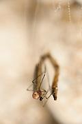 Pupates hatches into an adult fly (Arachnocampa luminosa). Adult Arachnocampa luminosa do not feed and live only a few days.  Glowworm cave near Waitomo Cave, New Zealand. Close to Te Kuiti. The  larvae of the fungus gnats of the species Arachnocampa luminosa are bioluminescent and feed on the light-attracted insects that get entagled in their sticky silk threads. | Die fertig entwickelte Pilzmücke der Art Arachnocampa luminosa schlüpft aus ihrer Puppenhülle - und hat bereits den allergrößten Teil ihres Lebens hinter sich. Vor etwa einem Jahr schlüpfte sie als Larve aus dem Ei, nur wenige Millimeter groß. Mithilfe ihrer Fähigkeit zu Leuchten (Biolumineszenz) lockte sie 6 bis 12 Monate lang Insekten an, um sie aufzufressen und zu einer Körperlänge bis zu ca. 6 cm heranzuwachsen. Nach einer ein bis zwei Wochen dauernden Verpuppung ist die Mücke nun ein flugfähiges, geschlechtsreifes Insekt von etwa 1,5 cm Körperlänge, das allerdings ohne Mundwerkzeuge ist und keine Möglichkeit zur Ernährung hat. Dieses Stadium dient nur der Paarung und Eiablage und dauert nur wenige Tage, bis die Pilzmücke stirbt.<br /> Arachnocampa luminosa ist eine von etwa 3000 Pilzmückenarten weltweit und lebt an feuchten, dunklen Stellen (Höhlen und Überhänge) in Neuseeland. Die Waitomo Cave und Höhelsysteme nahe der Ortschaft Te Kuiti sind bekannt für die leuchtenden Larven.