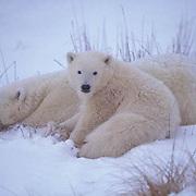 Polar Bear, (Ursus maritimus) Mother and cub. Churchill, Manitoba. Canada.