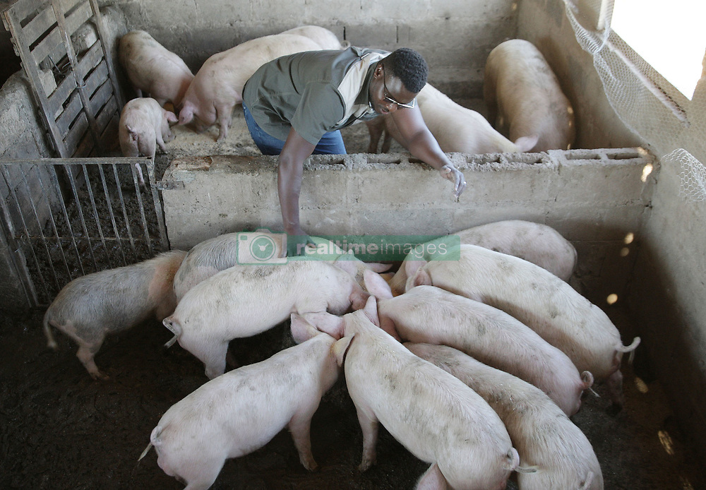 South Africa - Durban - 15 June 2020 - Zethembe Langa (owner, 34) with his assistant Dumani Jili (blue uniform) are young pig farmers just ouside Pinetown, KwaZulu-Natal. He started his business this year 2020 and has a few butcheries as his clients. Picture: Bongani Mbatha/African News Agency(ANA)