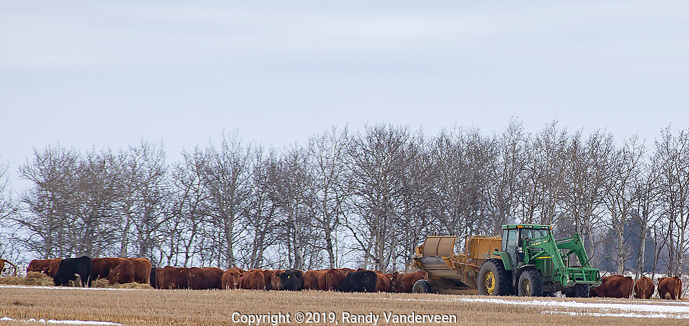 Photo Randy Vanderveen<br /> 2019-04-02<br /> Grande Prairie, Alberta<br /> A farmer uses a tractor to feed cattle in a pasture north of the Emerson Trail. While the snow is beginning to clear, many fields are still blanketed with snow and this year's fresh growth still hasn't appeared for grazing.