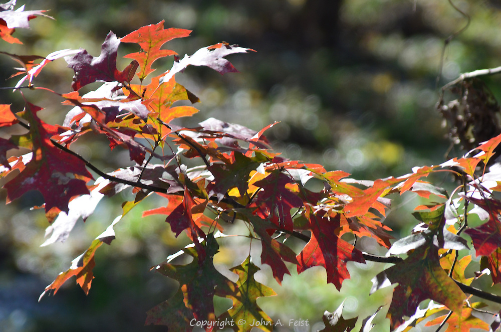 The sun is still the best lighting effect.  Witness these oak leaves and their vibrant colors.  Hillsborough, NJ
