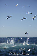 Cape gannets, Sula capensis, plunge into a baitball of sardines or pilchards, Sardinops sagax, ( note gannet at lower left eating sardine ) Transkei, South Africa (Indian Ocean)