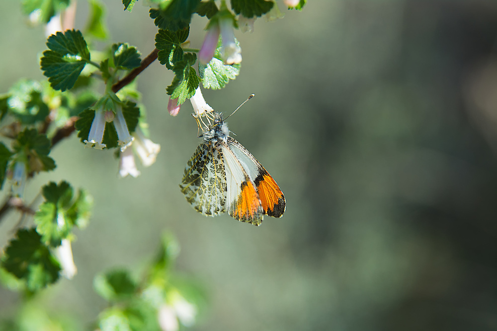 A male stella orangetip butterfly feeds on the nectar of blooming wax currants in Central Oregon near Bend. This is a subspecies of the in the sara orangetip complex, and is mostly found in the Pacific Northwest east of the Cascades where the habitat is much more arid and dry.