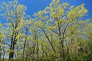 Bur oak trees (Quercus macrocarpa) in spring foliage<br /> Birds Hill Provincial Park<br /> Manitoba<br /> Canada