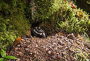 A Western Spotted Skunk (Spilogale gracilis) emerges from a burrow share by Mountain Beaver. Coastal forest in Central Oregon.