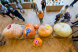 © Licensed to London News Pictures. 04/10/2016. London, UK. London, UK.  4 October 2016.  The RHS London Harvest Festival Show takes place at Linley Hall, celebrating produce from the UK's best growers and coveted first prizes awarded in the RHS Fruit & Vegetable Competition.  This year's highlight is the Heaviest Pumpkin Competition, won by Ben BenEliezer with a pumpkin (left) weighing 566kg or 12,478lbs. Photo credit : Stephen Chung/LNP
