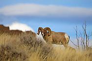 Bighorn Sheep Ram, Shoshone River Valley, Cody, Wyoming